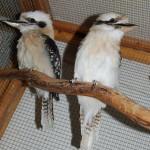 cookaburras-2